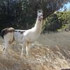 Llama Gets A Friend