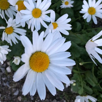 Daisy Season — July  - Photographs