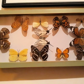 Taxidermy Tuesday Bountiful Buttewrfly Collection Just Generic American Butterflies I Think - Animals