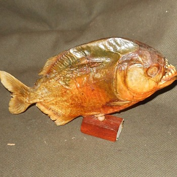 Preserved Pirinha Fish From The Rose Bowl - Animals