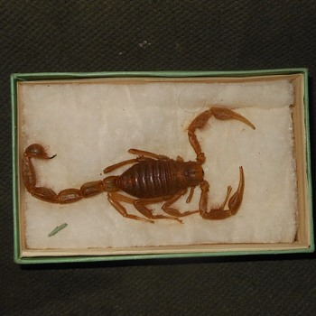 Taxidermy Tuesday Scorpion In a Vintage Parfum Box - Animals