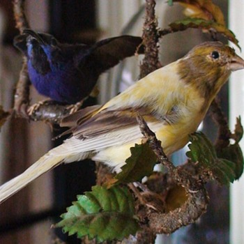 Pair of Victorian Era Taxidermy Yellow Legged Honeycreeper and Yellow Finch Antique Glass Dome Diorama - Animals