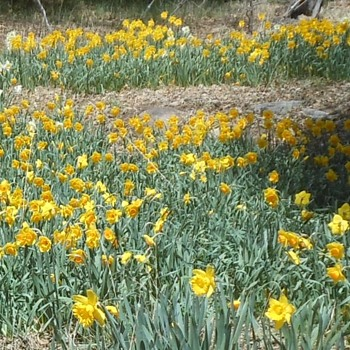Daffodils in Twin Peaks  - Photographs