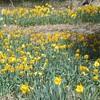 Daffodils in Twin Peaks