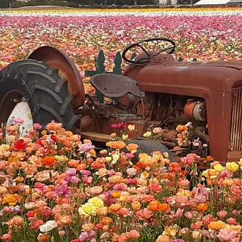 Vintage Tractors at Carlsbad Flower Fields  - Tractors