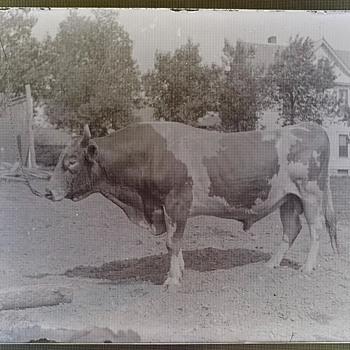 Antique Bull Bovine Glass Photograph Negatives - Photographs