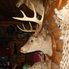 Taxidermy Tuesday Unusual Deer Head Mount
