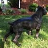 Life-Size Bronze Pit Bull