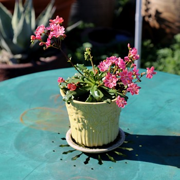 Tiny Weller or McCoy Flower Pot Planted with a Lewisia - Pottery