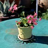 Tiny Weller or McCoy Flower Pot Planted with a Lewisia