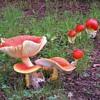 AR1 new unnamed mushroom