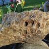 Fossilized Faviidae Stony Coral?