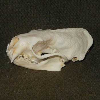 Taxidermy Tuesday A Skunk Skull - Animals