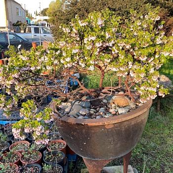 Big Sur Manzanita - Pottery