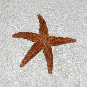Starfish - Dry Preserved - Animals