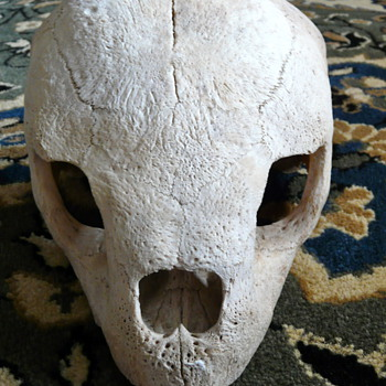 Turtle/tortoise Skull