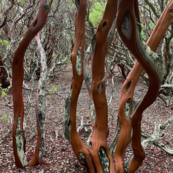 Manzanitas - Iconic Trees/shrubs of California. - Photographs