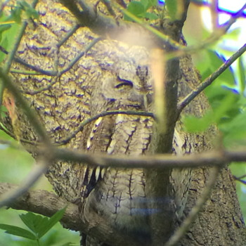 """Circle of life,Screech Owl,Male and Female""""05-8 to 06-7= 5 CHICK"""