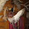 Flange Mounted Taxidery Mallard Duck