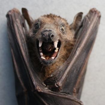 Fruit Bat - Animals