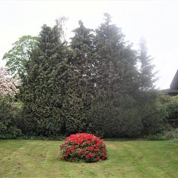 Rhododendron 'Baden Baden' ... - Photographs