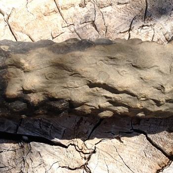 Fossil 7 inch lycopsid rhizome (root) - Animals