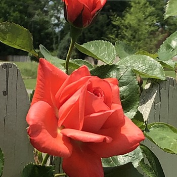 Roses against a fence (to compliment posts by billretiredcoll and Vynil33rpm) - Photographs