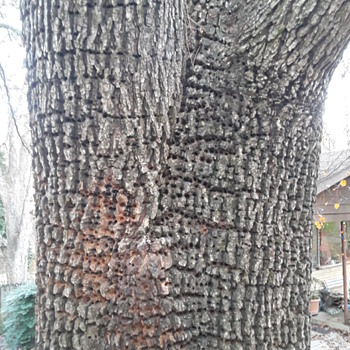 I can't show y'all my 'pet' woodpecker, but here's what he's done to my tree...?? - Photographs