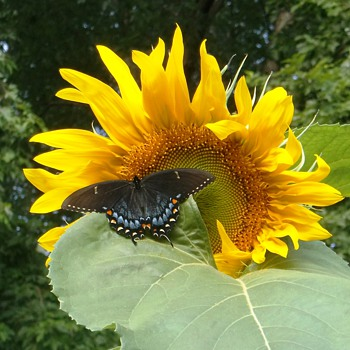Sunflower Visitor - Photographs