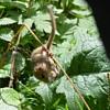 Playful dormouse