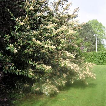 Prunus lauracerasus ... - Photographs