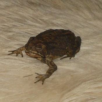 Duttaphrynus Melanostictus Not Just a Crunchy Frog - Animals