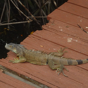 My study of St. Maarten wildlife