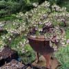 Big Sur Manzanitas growing in old pots
