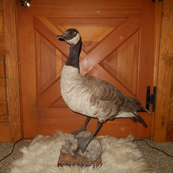Taxidermy Tuesday Duck Duck Goose! Canada Goose - Animals