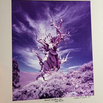 "William E. Reister Photograph tilted ""Ancient Bristlecone Pine White Mtn, Cal"" - Fine Art"