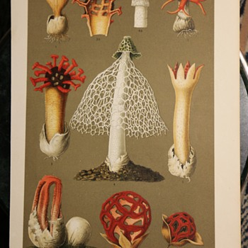 German Chromolithograph of Interesting Fungi - Fine Art
