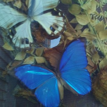 Butterfly diorama from S. America  Blue Morpos - Animals