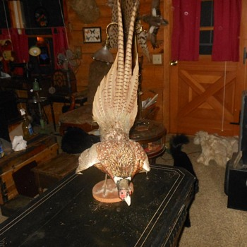 Taxidermy Pheasent in Mating Pose
