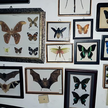 Taxidermy Tuesday More Of The Butterfly Collection - Animals