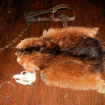 Muskrat Pelt and Skull and Trap