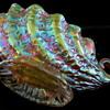 Loetz: Diaspora Candia c1900 Shell Bowl