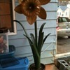 Carnival Ride Daffodil