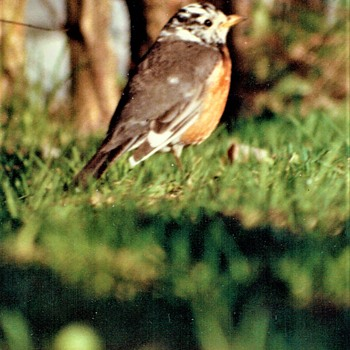 Partially Albinos( leucistic) Robin ( The American robin (Turdus migratorius)) - Animals