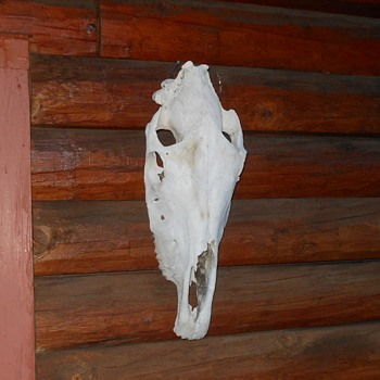Taxidermy Tuesday  A Horse Skull From the High Desert - Animals