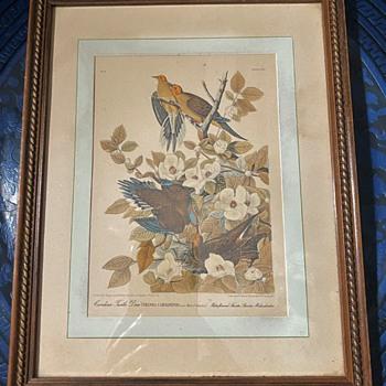 Audubon's Mourning Dove  - Animals