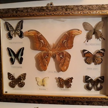 Taxidermy Tuesday An Atlas Moth and More - Animals