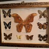 Taxidermy Tuesday An Atlas Moth and More