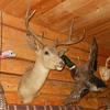 Stanley The Mule Deer Head From The Rose Bowl