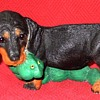 Dachshund Puppy Dragging His Toy